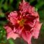 hemerocallis rosy meyer